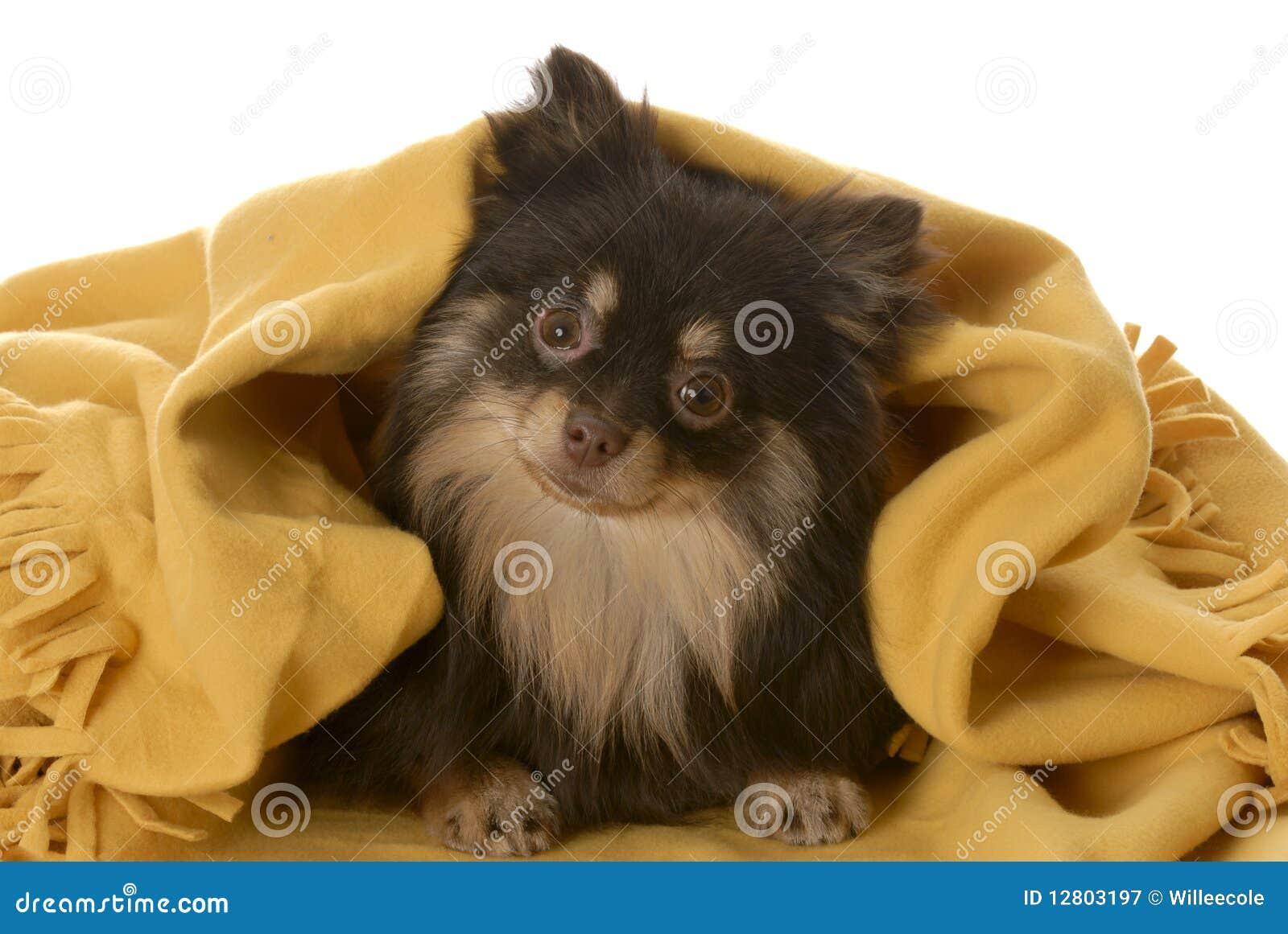 Filhote de cachorro que esconde sob um cobertor