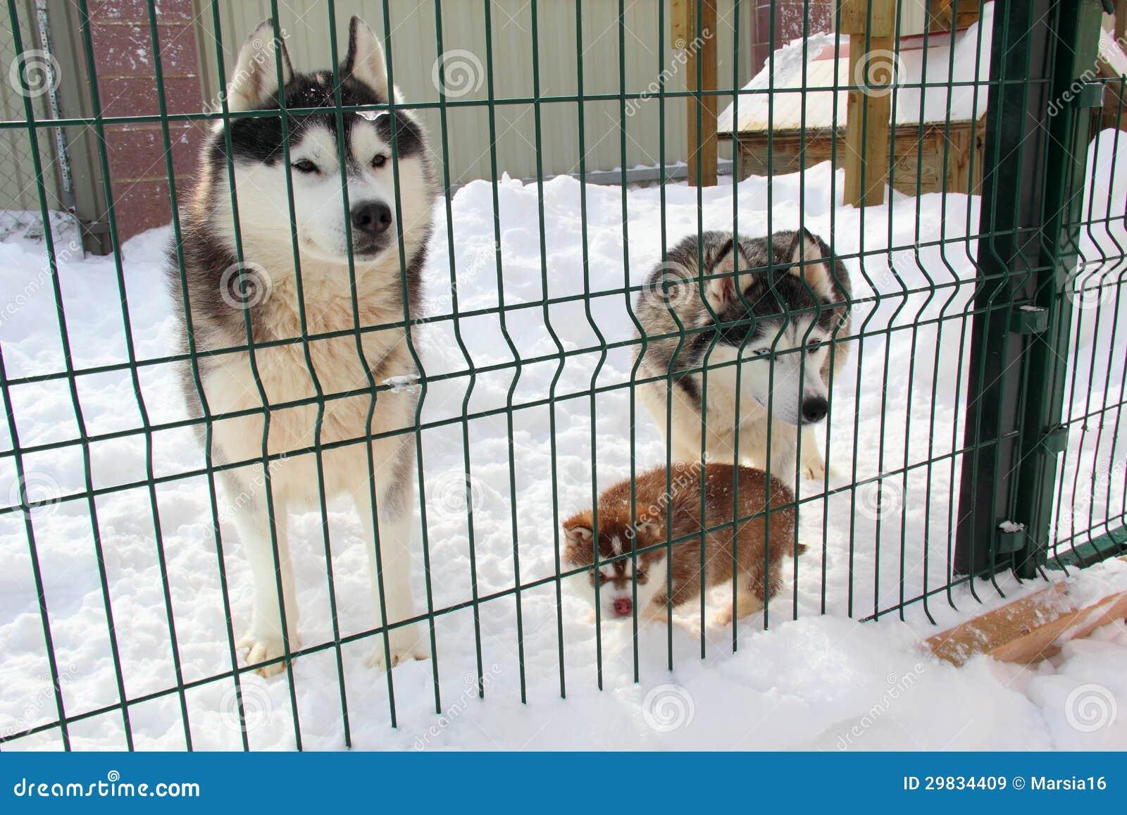 Filhote de cachorro ronco na neve
