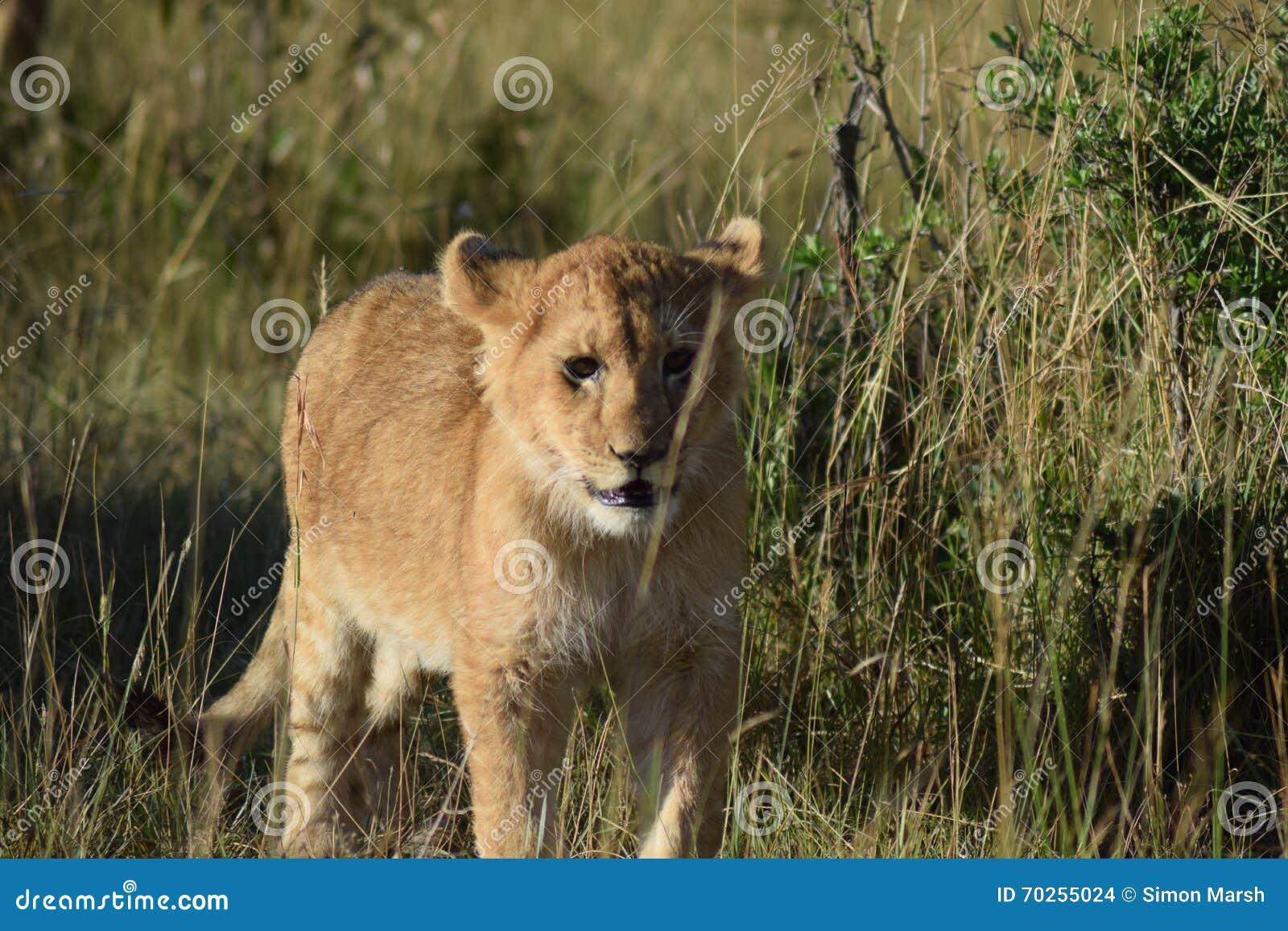 Filhote de leão bonito