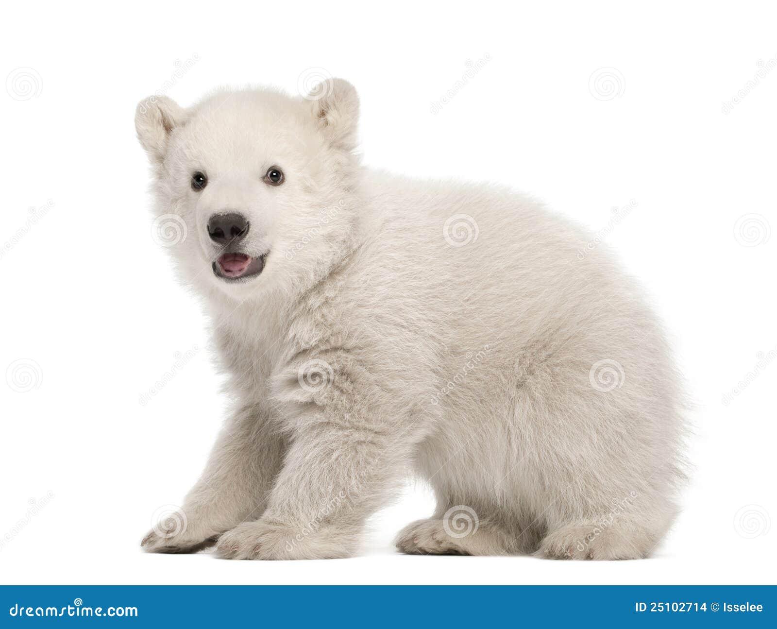 Filhote de urso polar, maritimus do Ursus, 3 meses velho