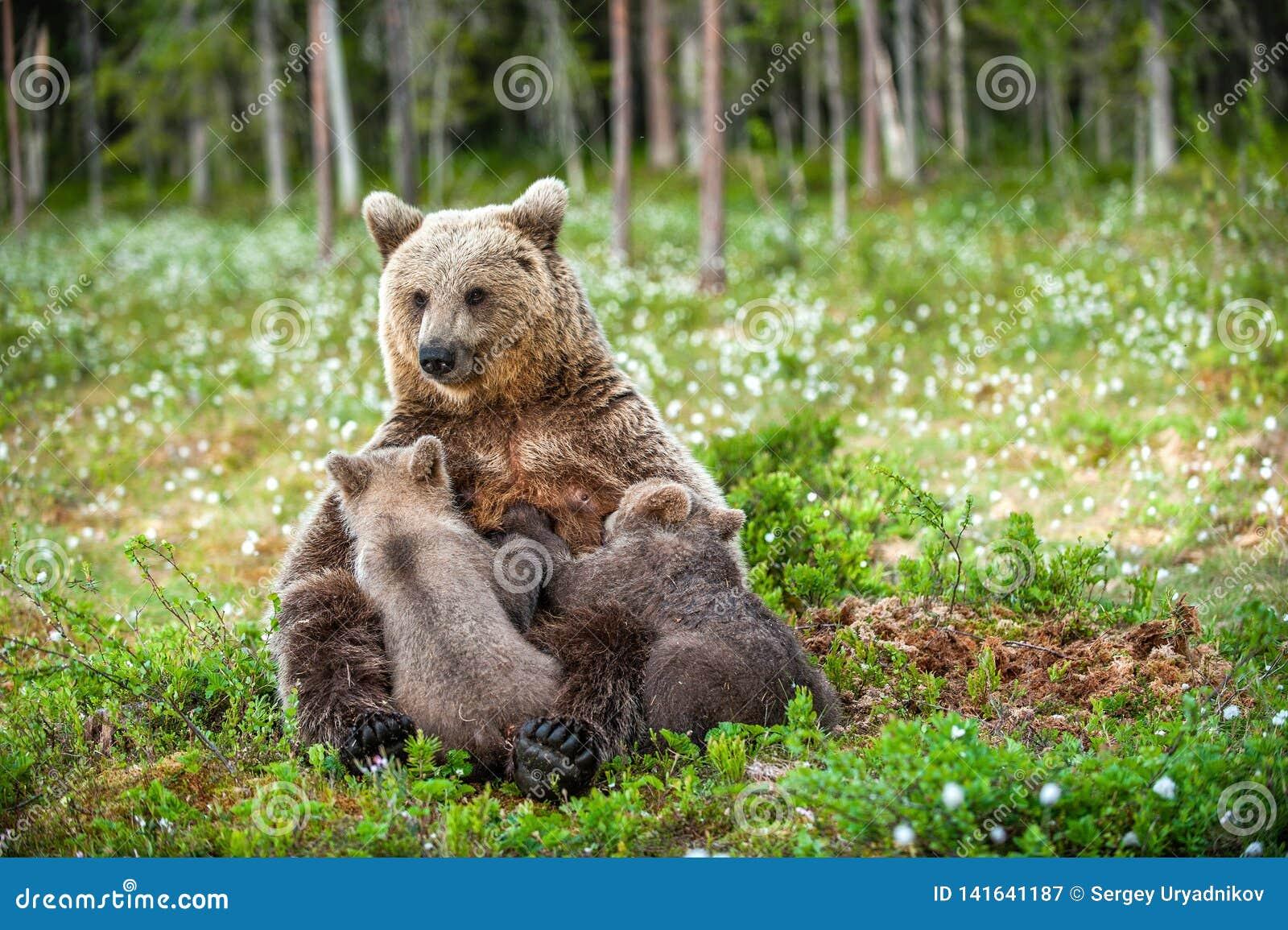Filhotes de alimentação do leite materno do Ela-urso Urso de Brown, nome científico: Arctos do Ursus summertime