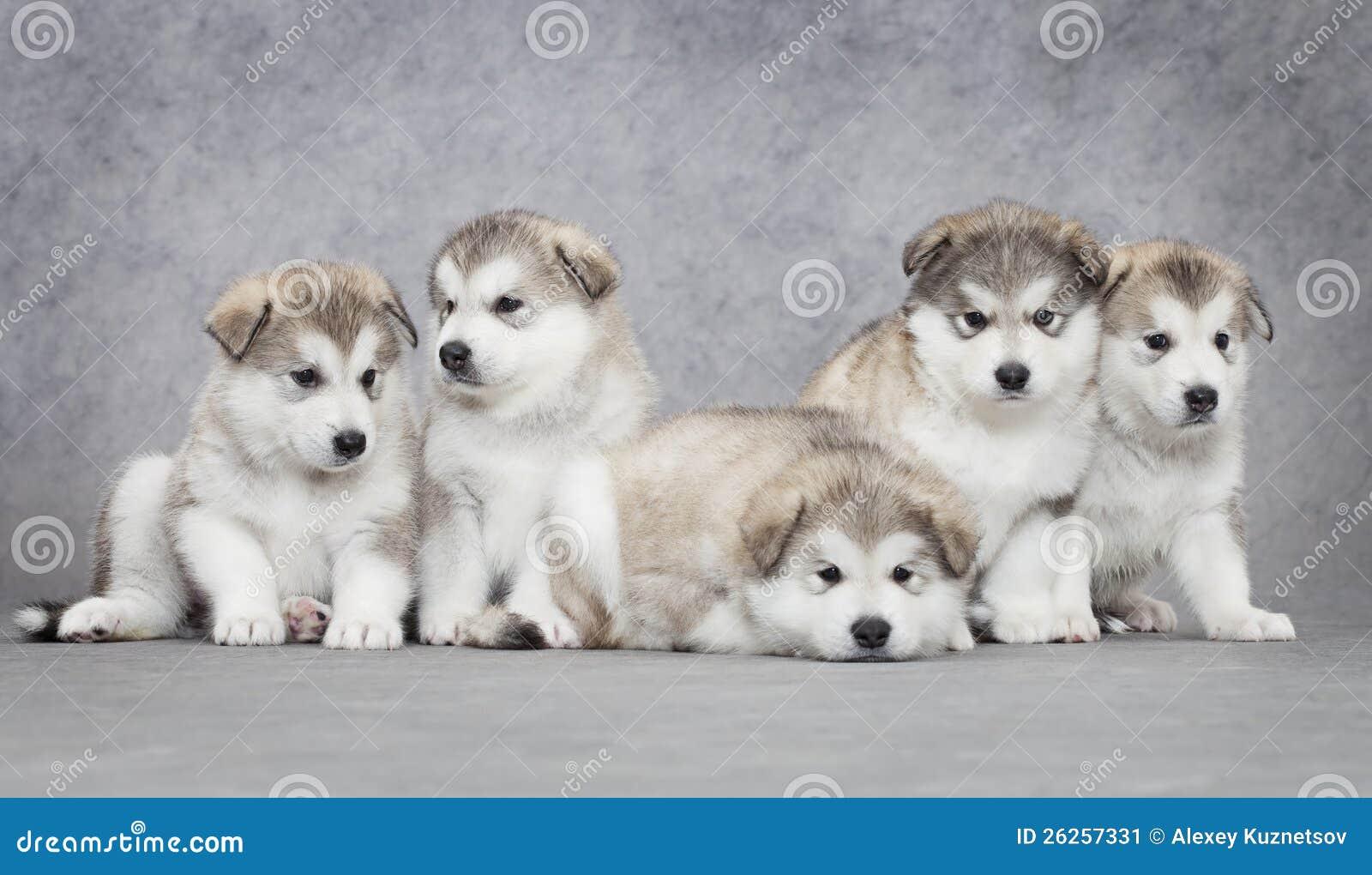 Filhotes de cachorro do malamute do Alasca