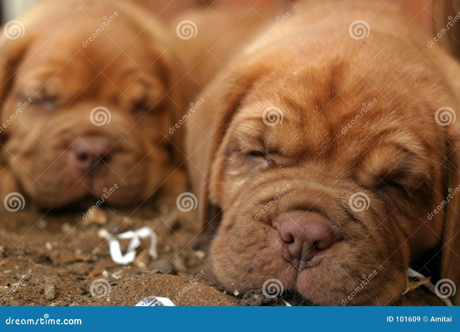 Filhotes de cachorro do sono