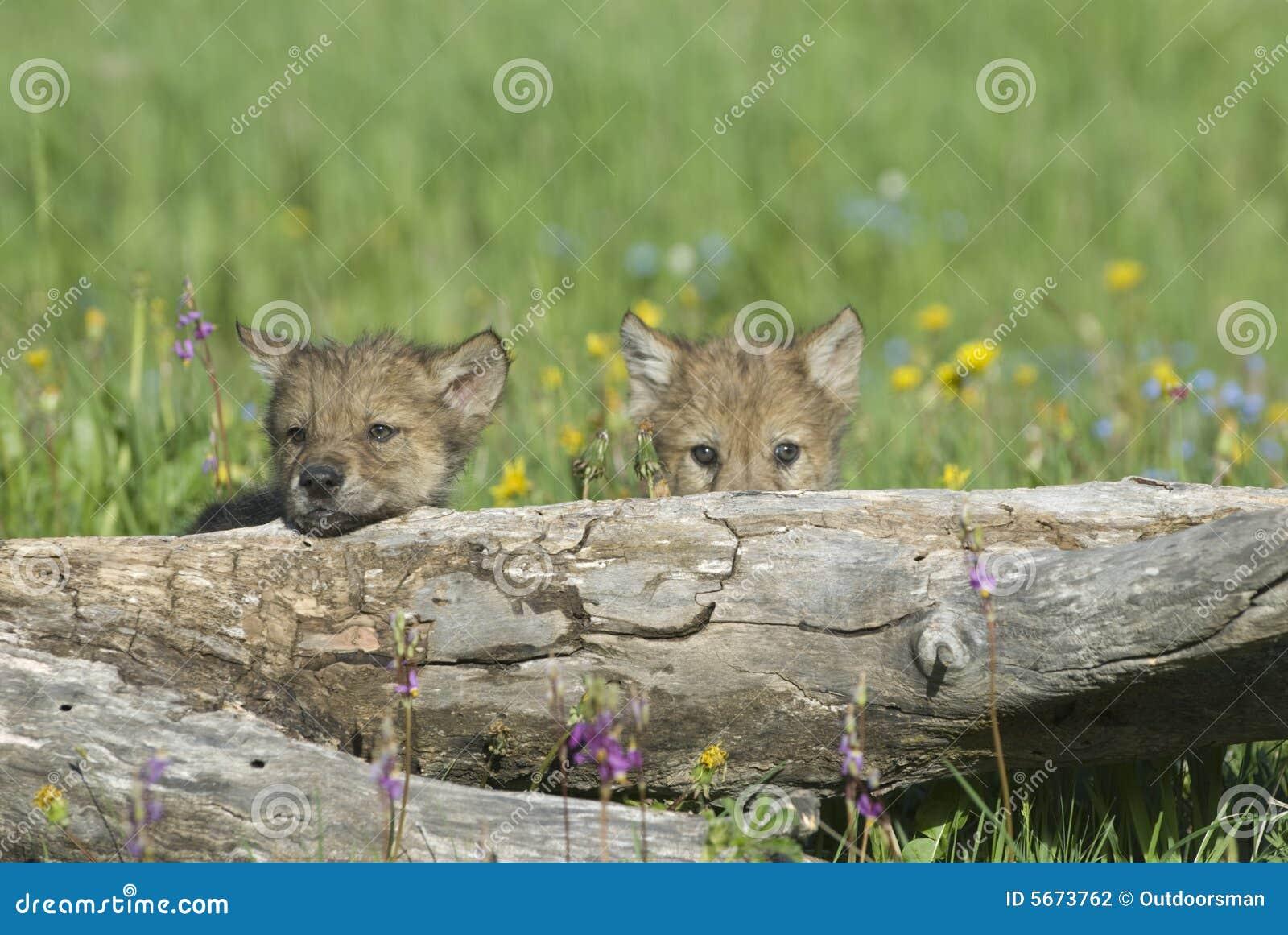 Filhotes de lobo