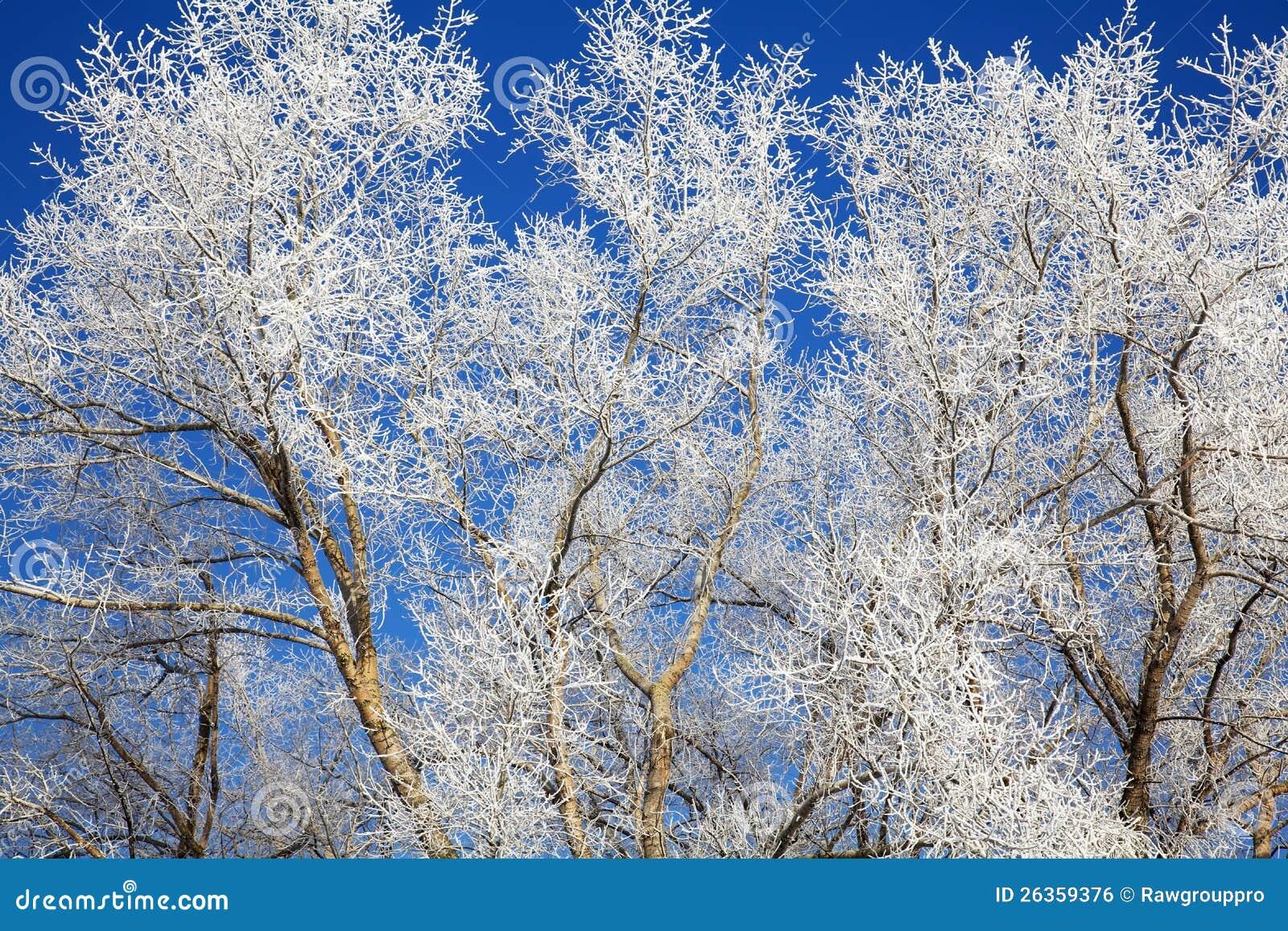 Filiais de árvore congeladas em dezembro