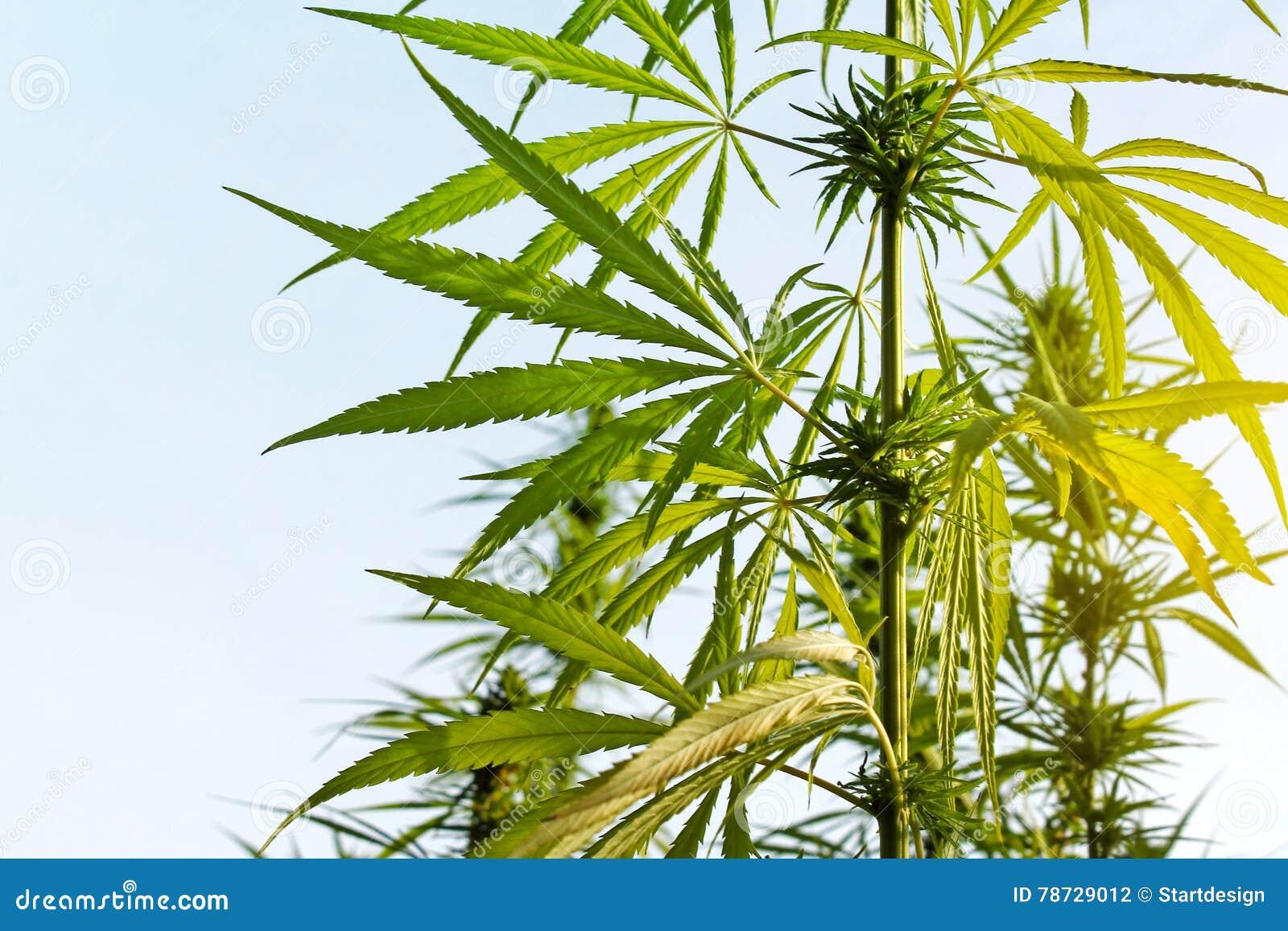 Filial av cannabisväxten med knoppar