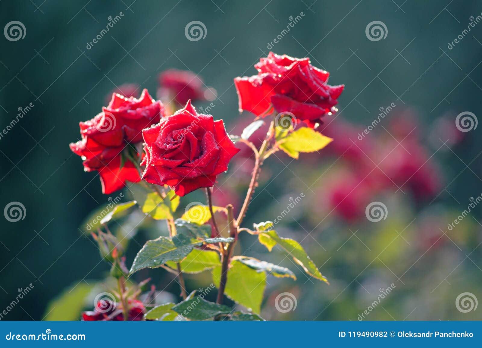 Filial av röda rosor för en buske med droppar på en bakgrund av gr