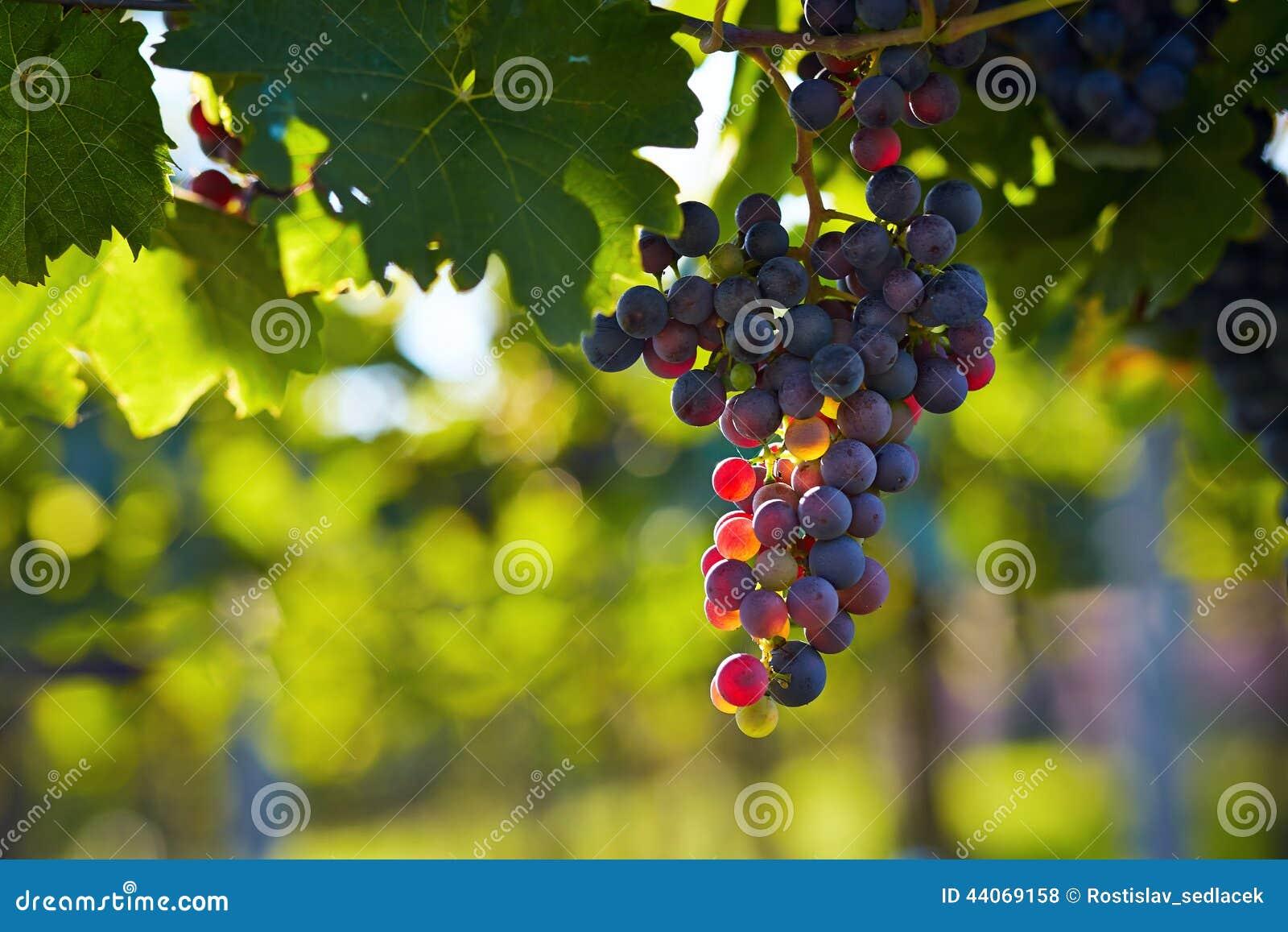 Filial av rött vindruvor