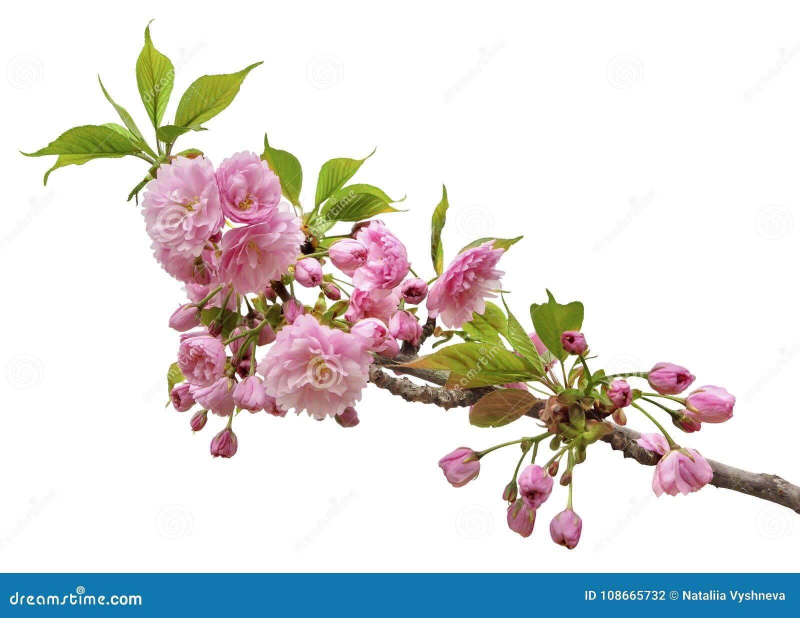 Filial av sakura blomningar som isoleras på en vit bakgrund