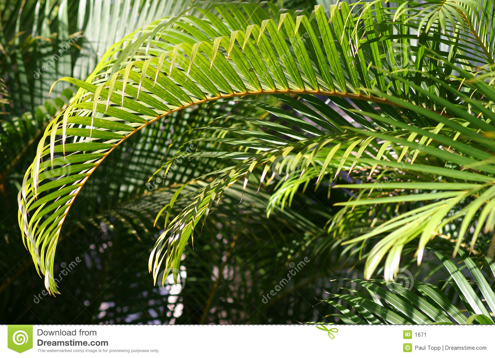 Filial da palma