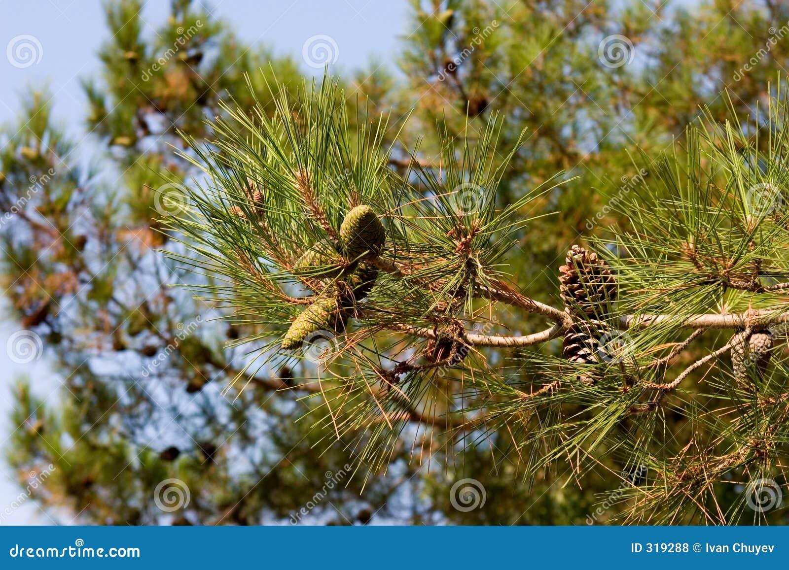 Filial da Pinho-árvore