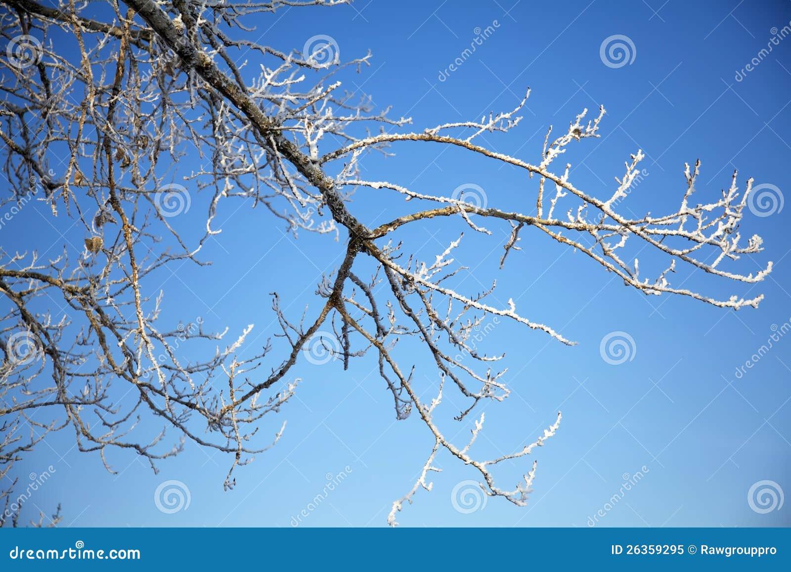 Filial de árvore completamente da geada