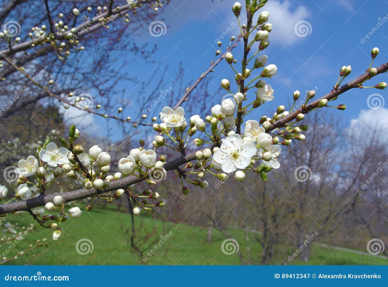 Filial de árvore de florescência da maçã
