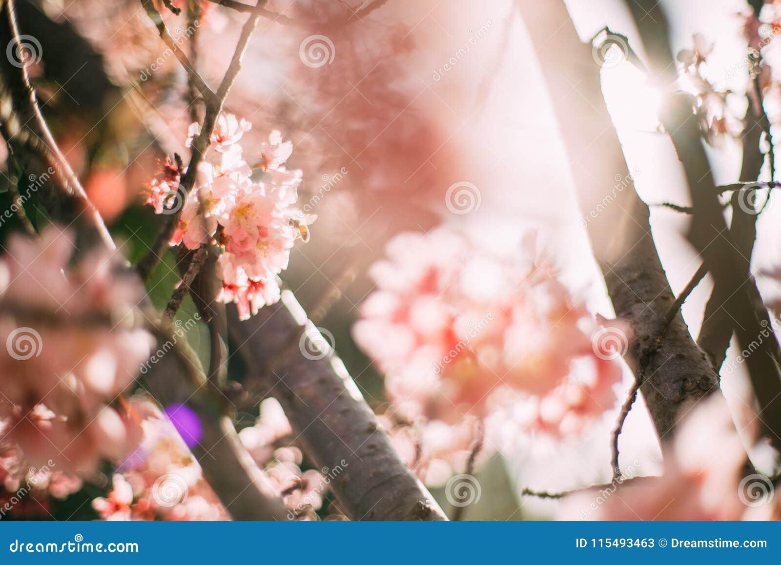 Filial de árvore de florescência da cereja