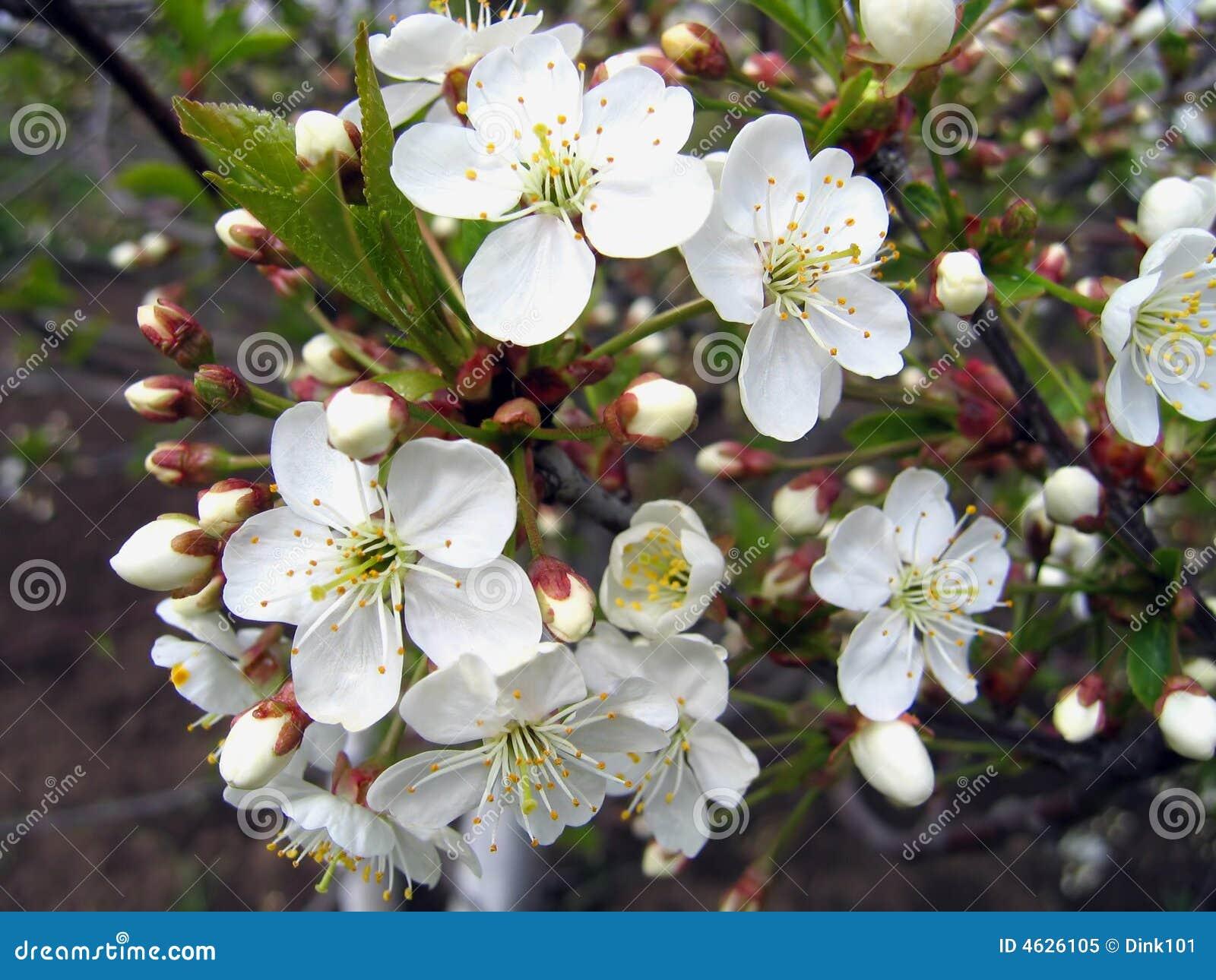 Filial de uma árvore de florescência