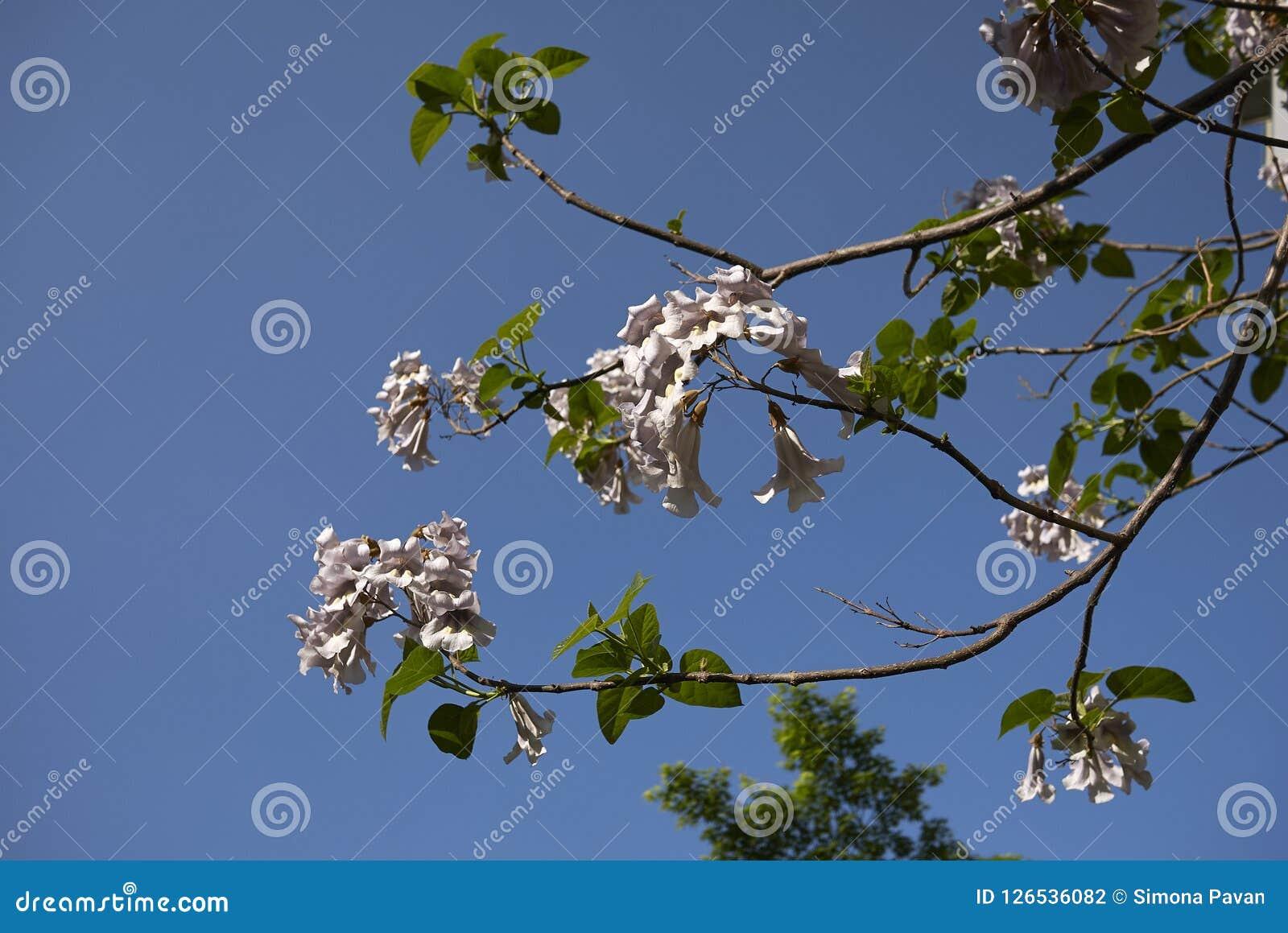 Filial med blommor av Paulowniatomentosaträdet