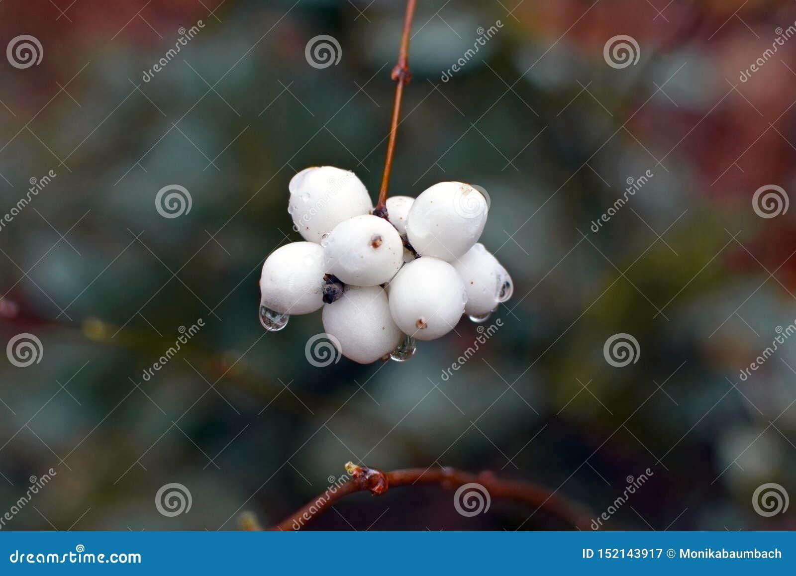 Filial med den åtskilliga vita Symphoricarposalbussnowberryen med vattendroppar efter regn