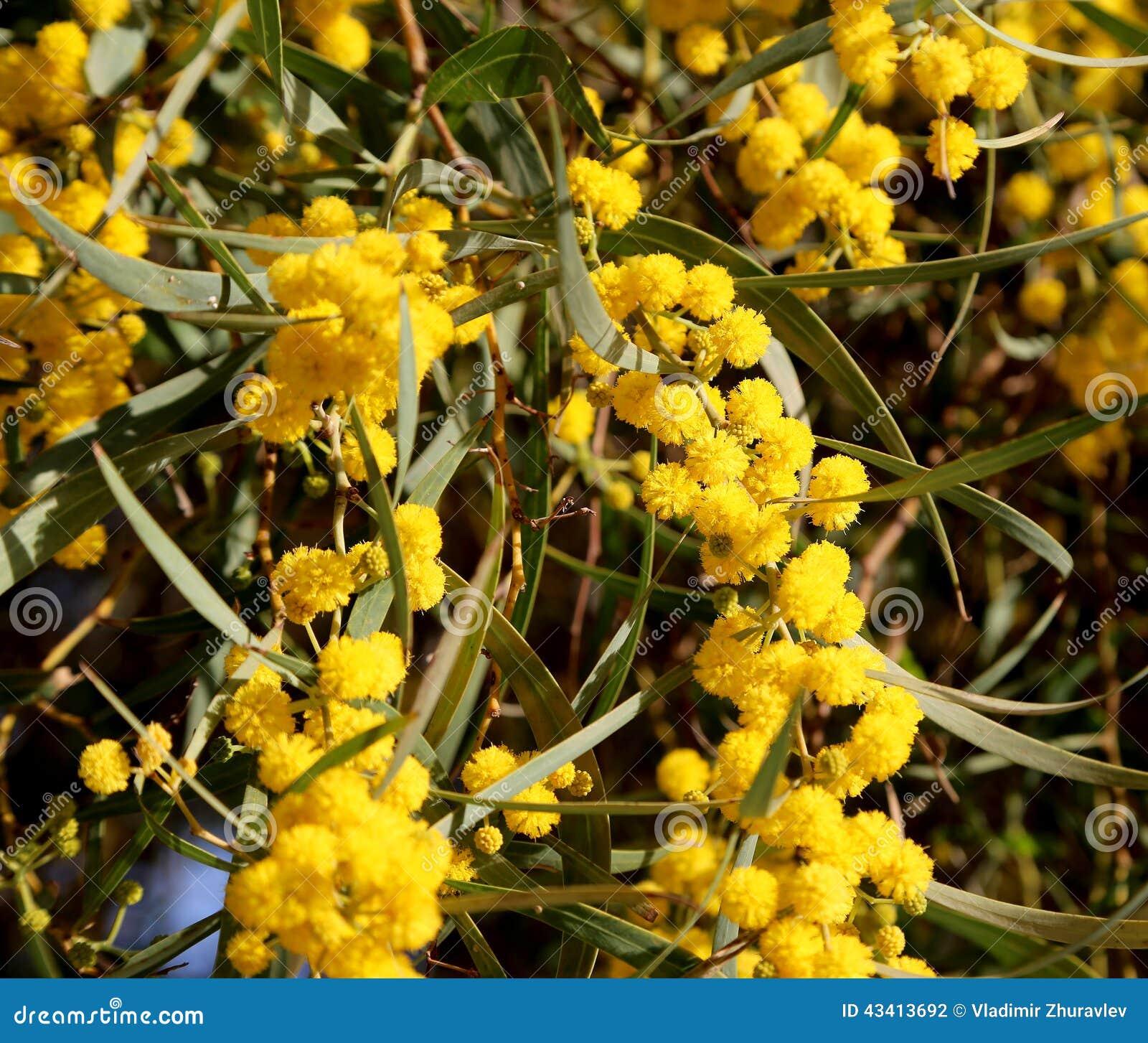 Filiale della pianta del mimosa con i fiori gialli for Pianta del pavimento con dimensioni