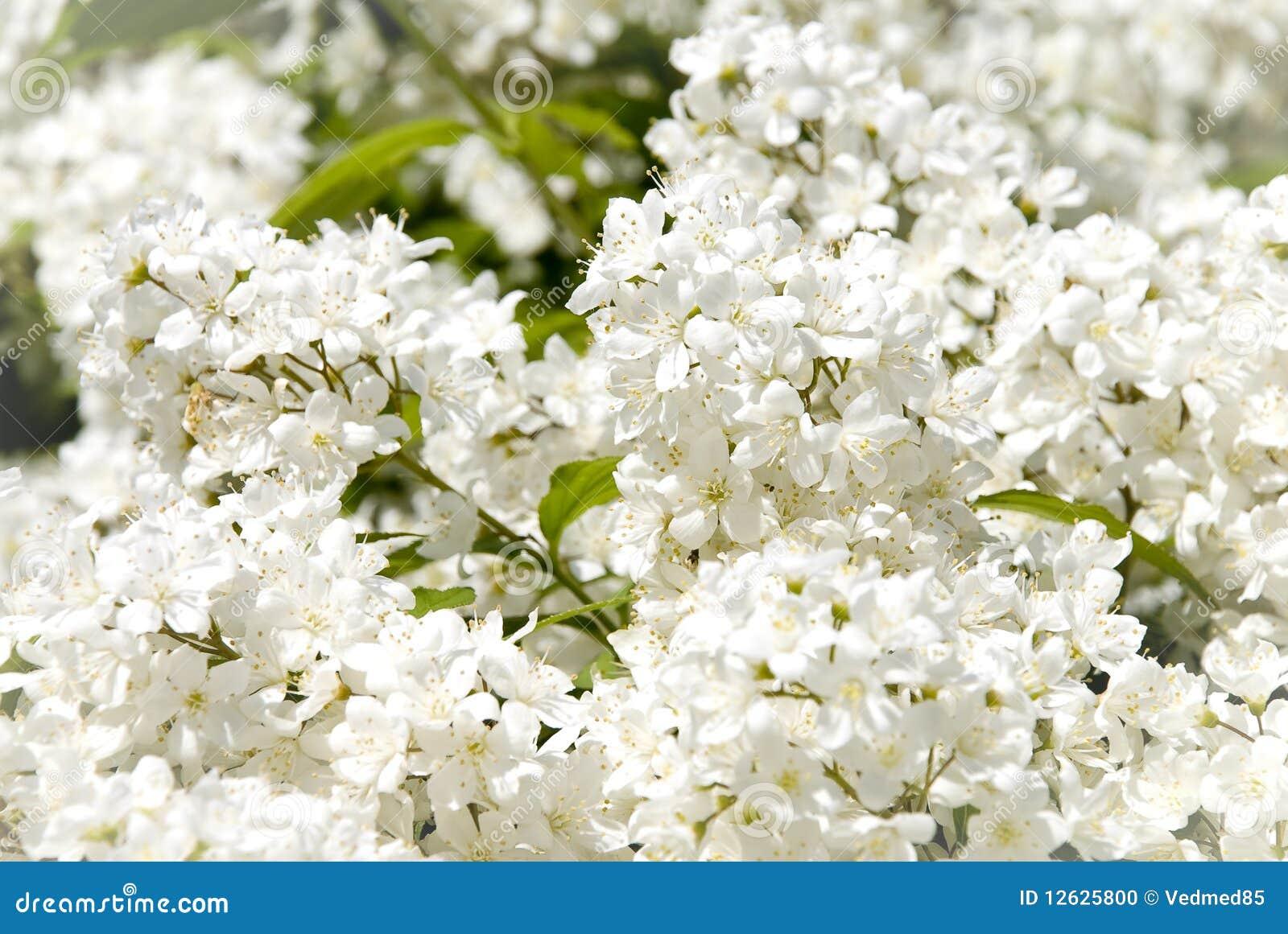 Filiale di piccoli fiori bianchi fotografia stock for Fiori piccoli bianchi