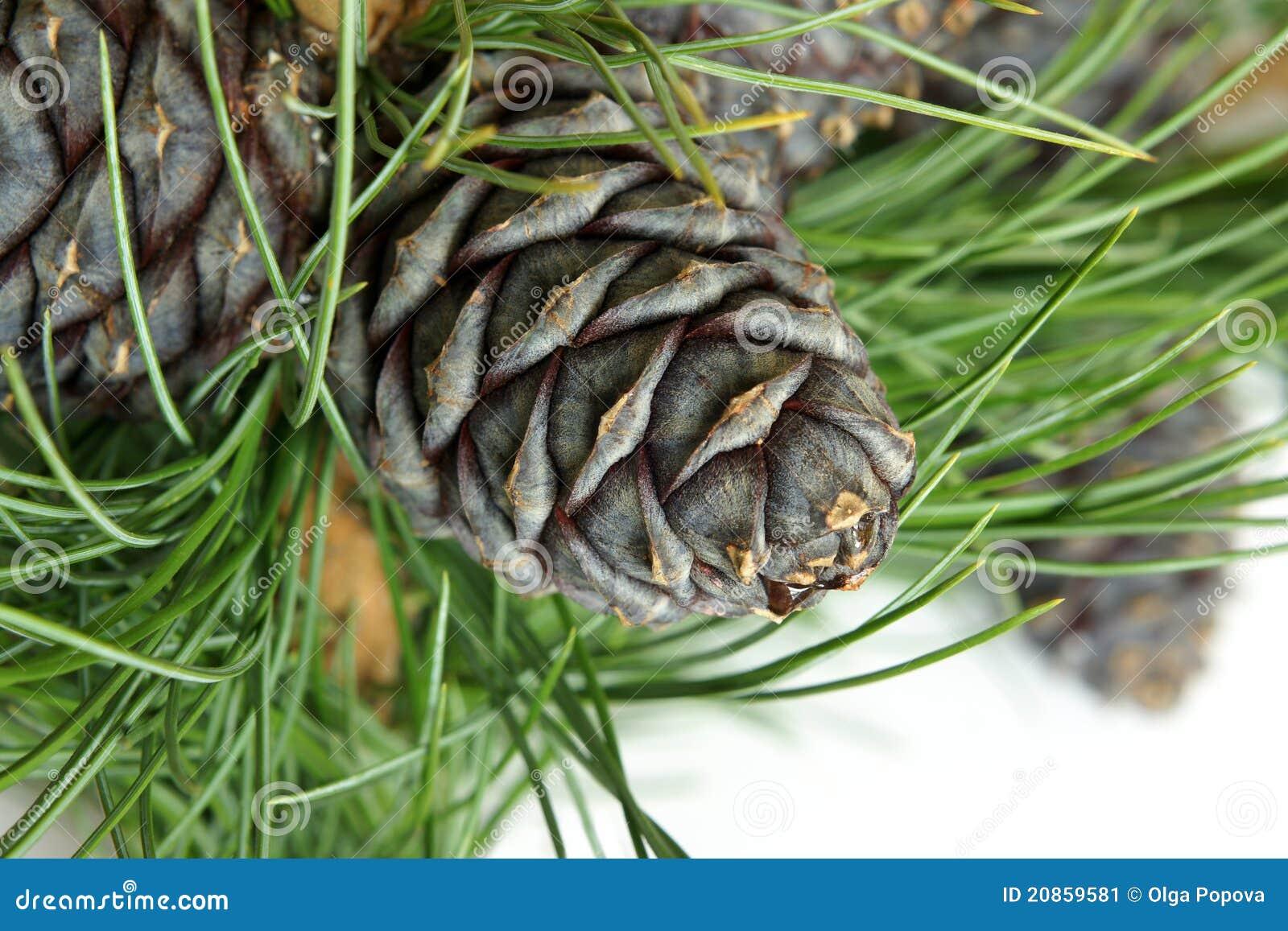 Filiale siberiana del pino con i coni