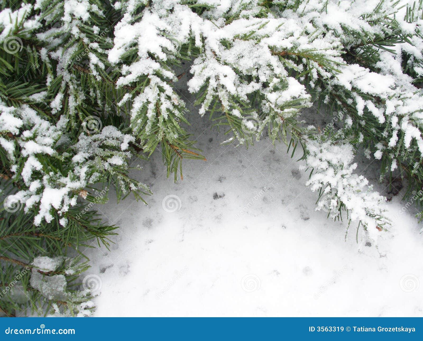Filiale Snowbound di abete