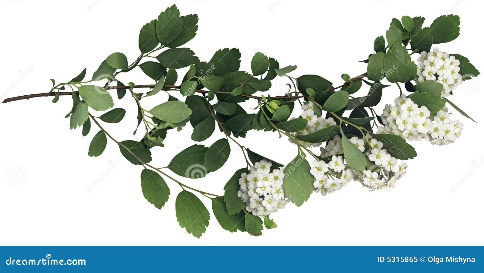 Download Filiale Verde Della Sorgente Immagine Stock - Immagine di bianco, decorazione: 5315865