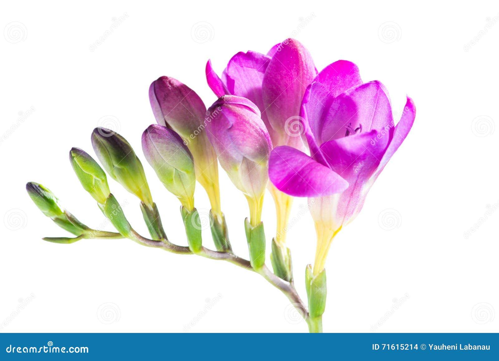 Filialen av purpurfärgad freesia med blommor och knoppar som isoleras på