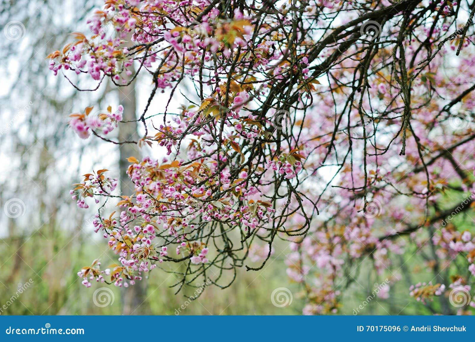 Filialer av blomningar för körsbärsrött träd