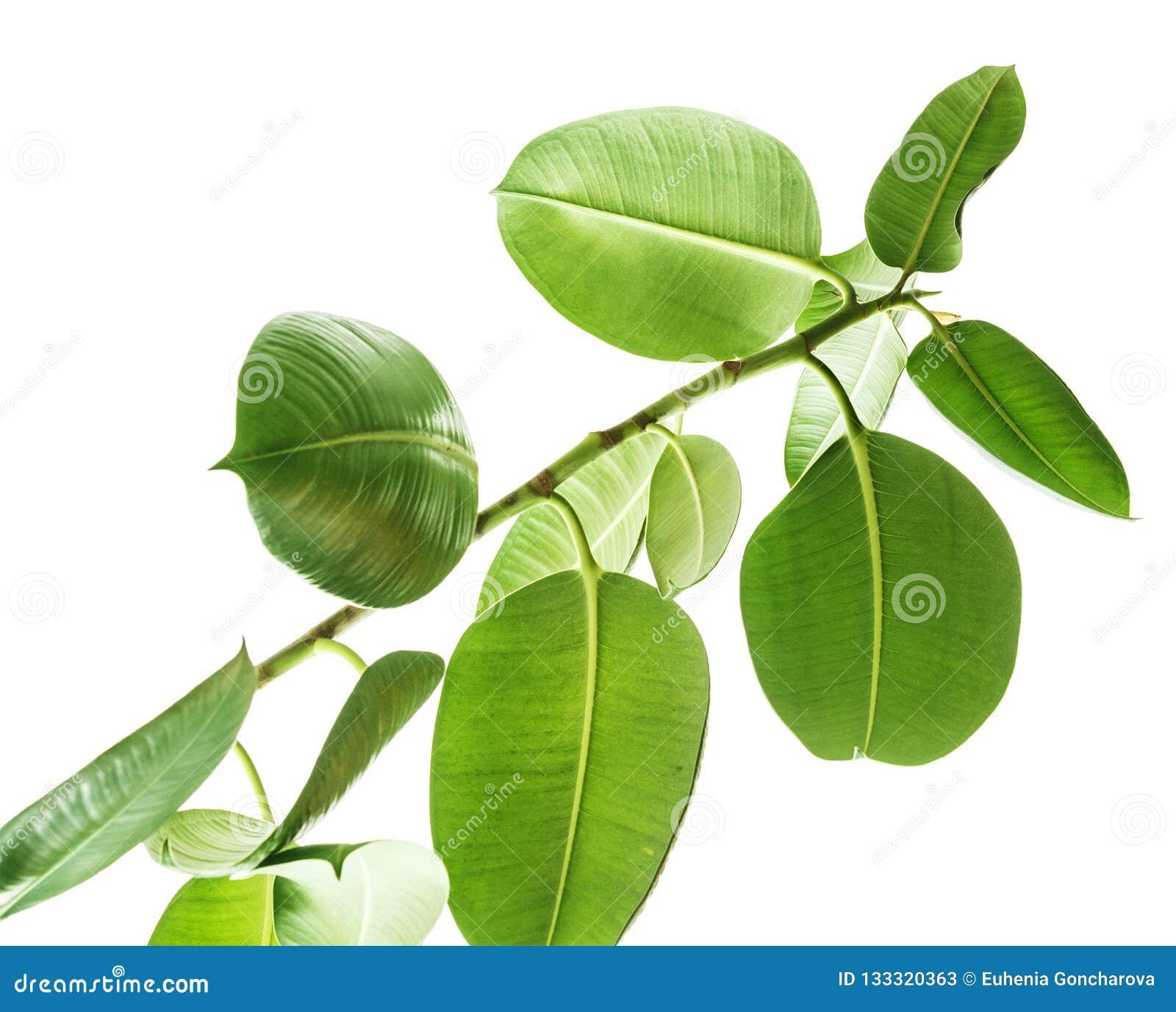 Filialer av en gummiträdbottensikt på vit bakgrund, stora rundade isolerade gröna sidor Beståndsdelar för kortet, affisch som des