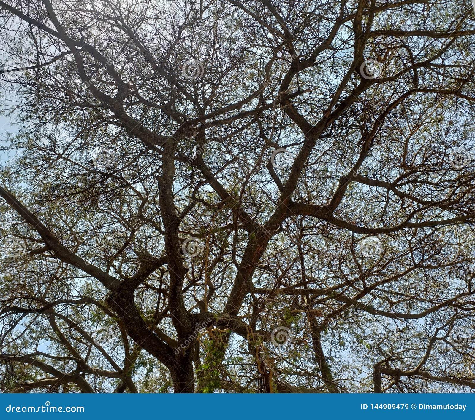 Filialer av ett akaciaträd