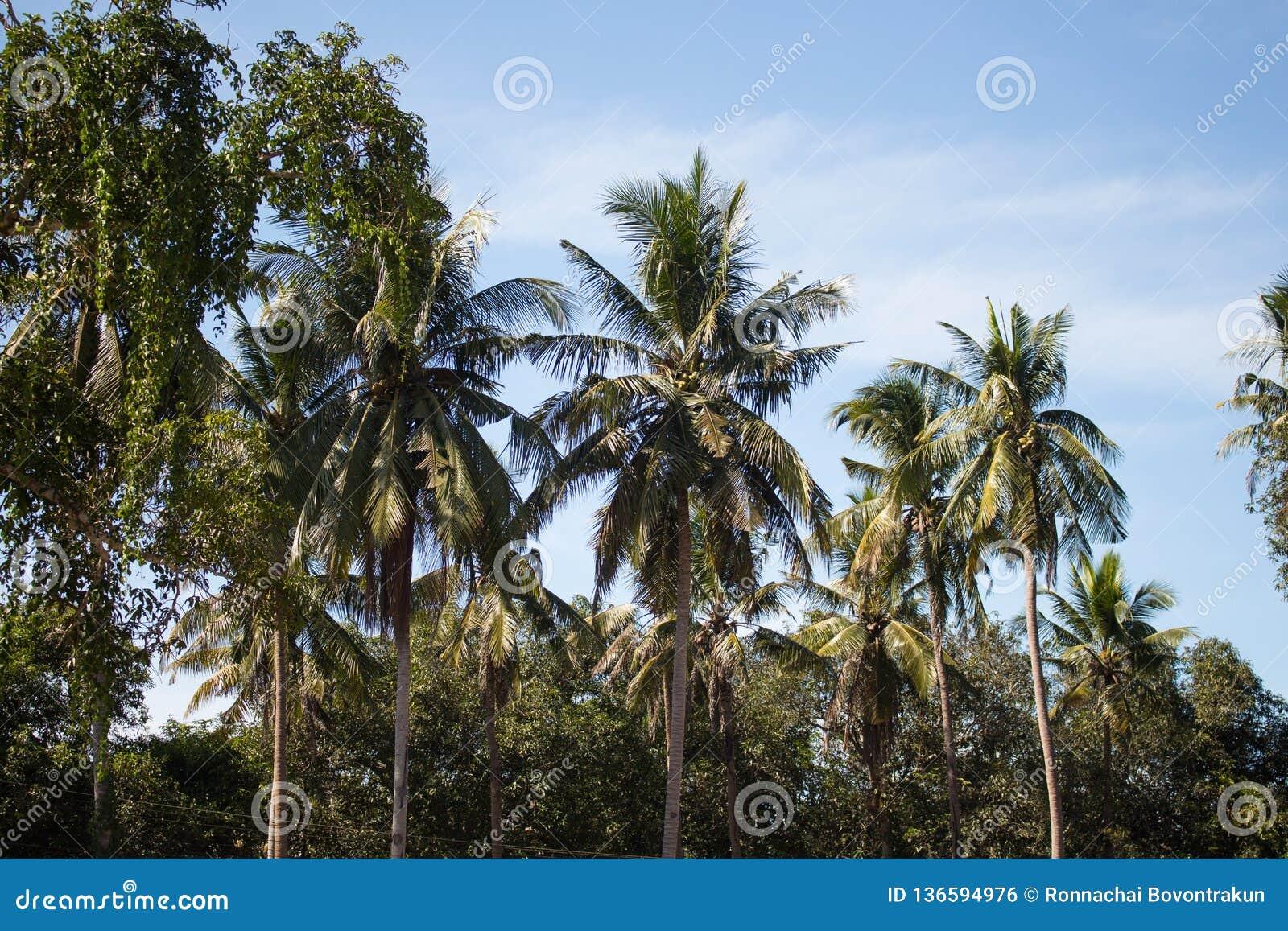 Filialer av kokosnöten gömma i handflatan under blå himmel