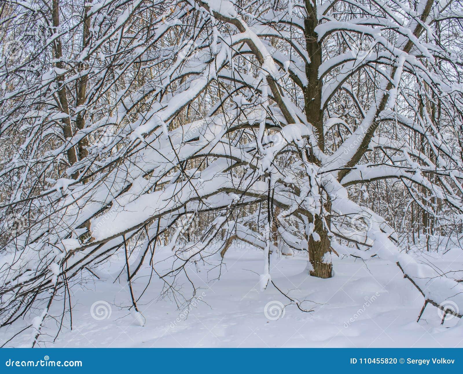 Filialer av träd som är nedböjda vid vikten av snö