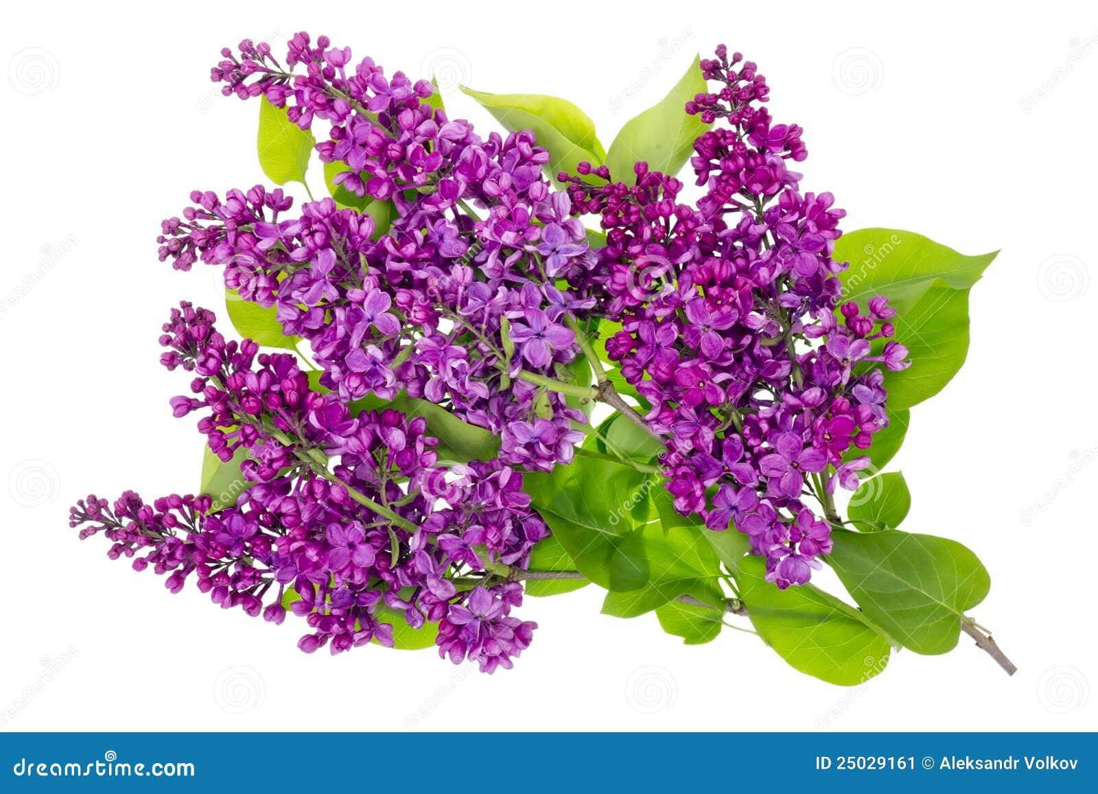 Filialer isolerad lila purple