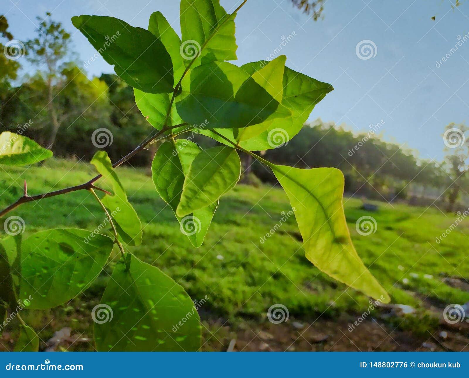 Filialer och stammar och baelsidor av kvittenträd
