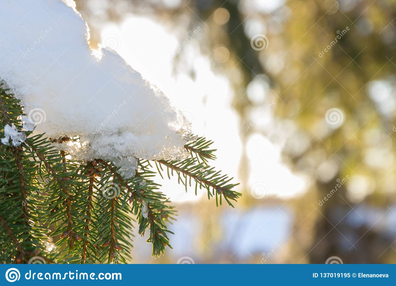 Filialer och visare av granen täckte med insnöat vinterskogen i Finland
