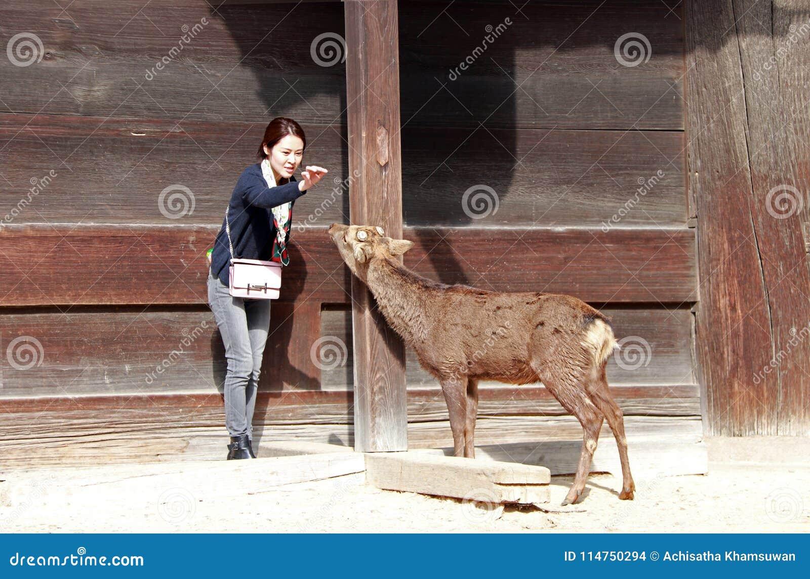 Fille de touristes agissant à alimenter la nourriture pour des cerfs communs sur le bâtiment en bois de fond devant le temple de