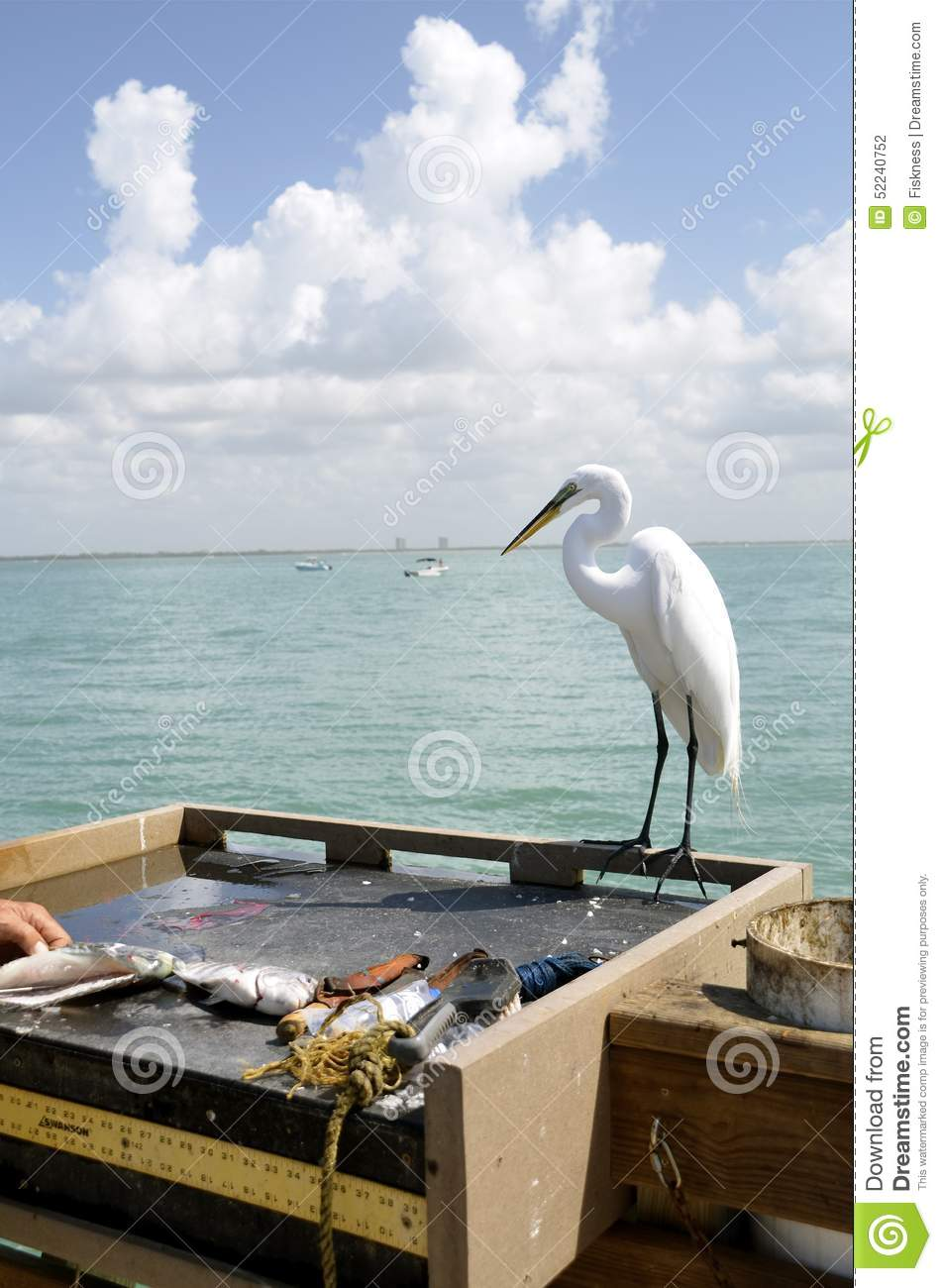 Filleting a fish as egret watches