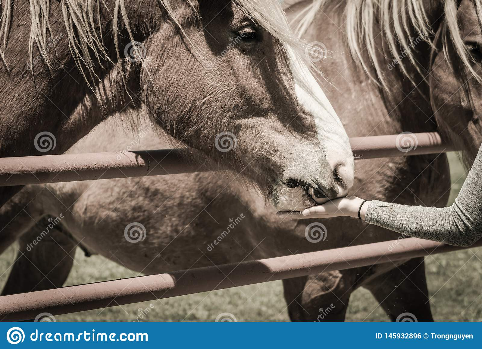 Filtered image female hand feeding Belgian Heavy Horse at farm in North Texas, America