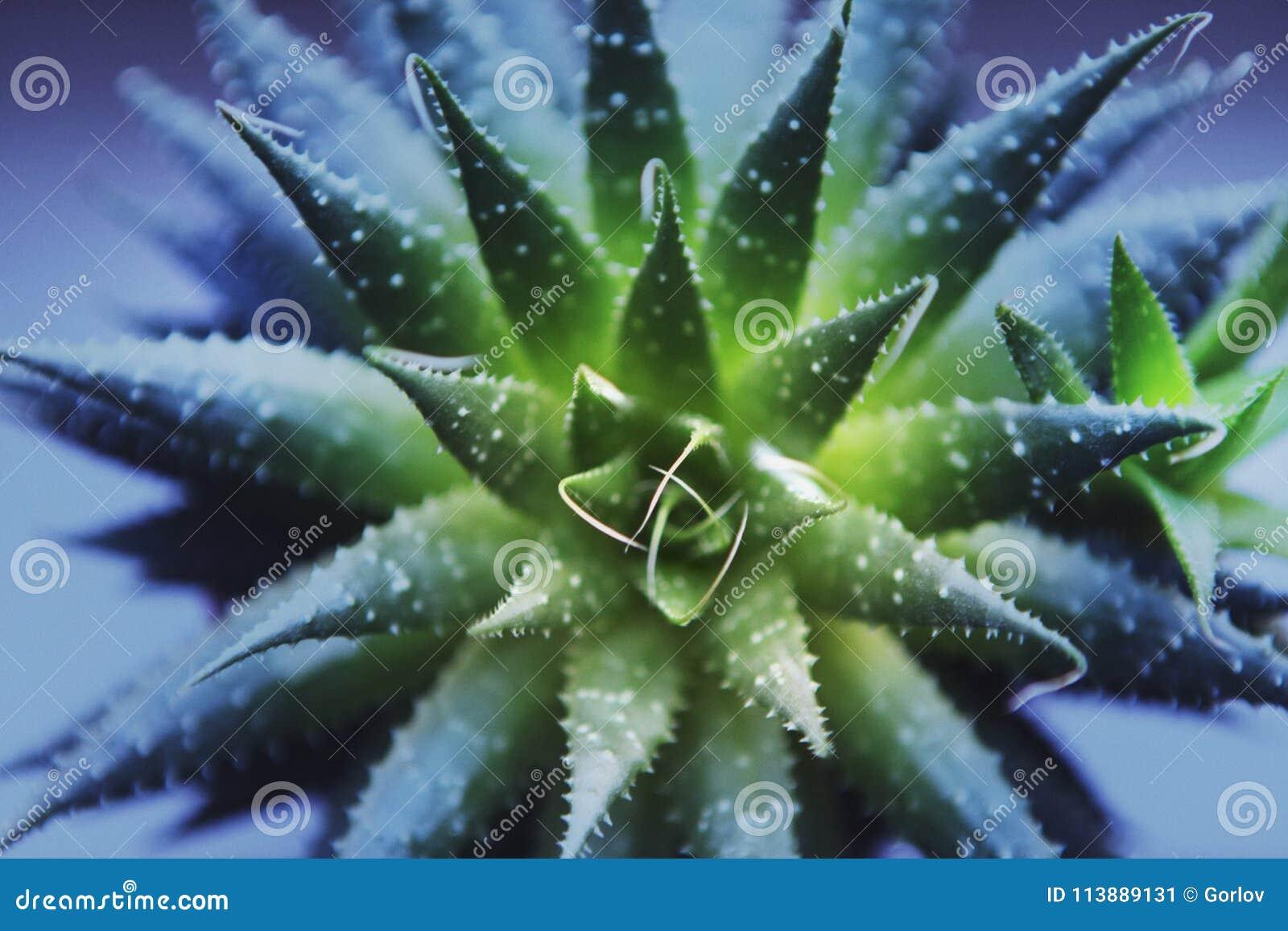 Filtro púrpura macro del cactus verde