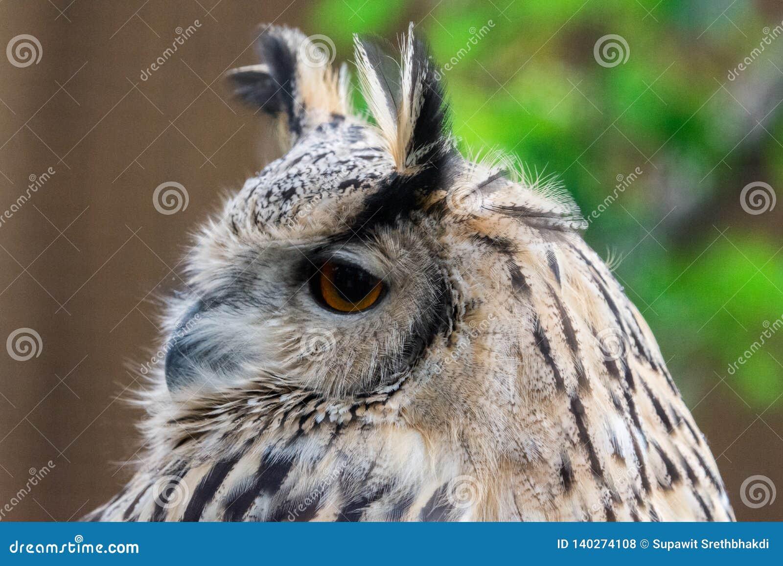 Fim acima da cara euro-asiática do bubão de Eagle Owl Bubo com olho alaranjado