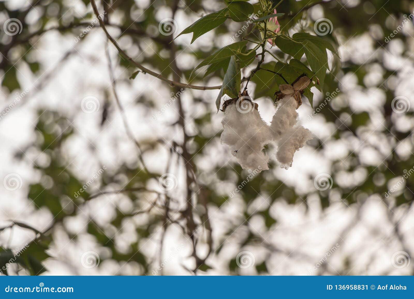 Fim acima da sumaúma ou da árvore branca de seda do algodão Vagens frescas do ceiba na árvore