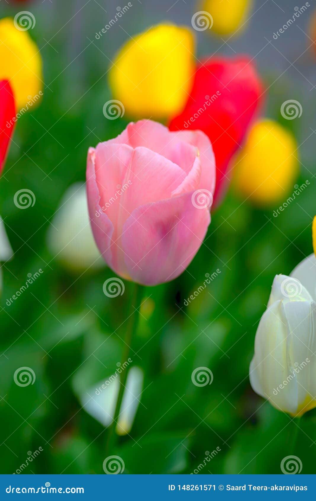 Fim acima da tulipa cor-de-rosa e do fundo colorido das tulipas