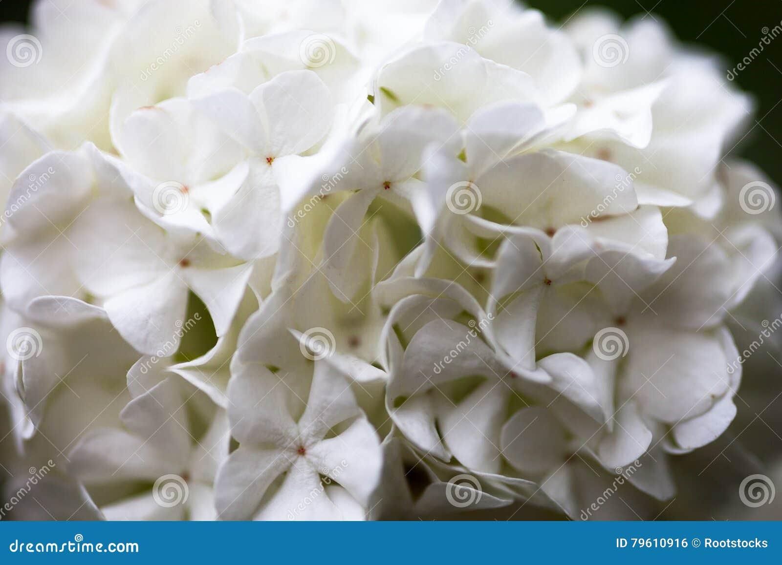 Fim acima das flores brancas da rosa do guelder
