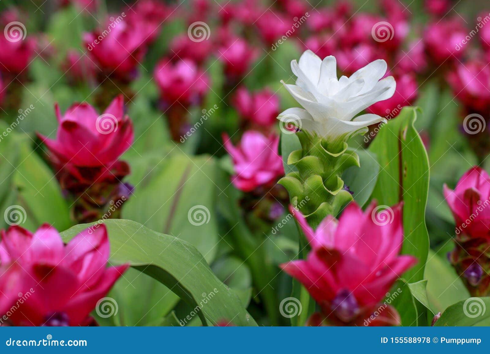 Fim acima das flores brancas de Krachiew no fundo cor-de-rosa da flor na natureza