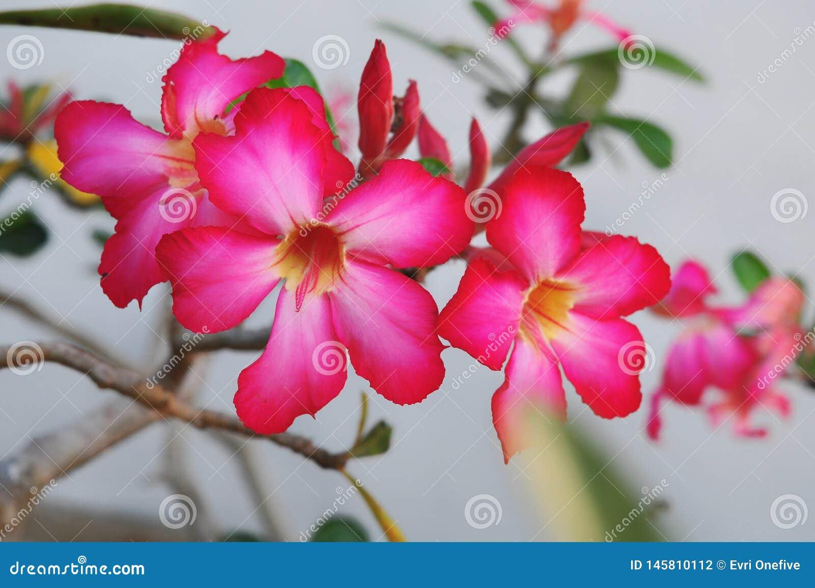 Fim acima das flores do Adenium na natureza