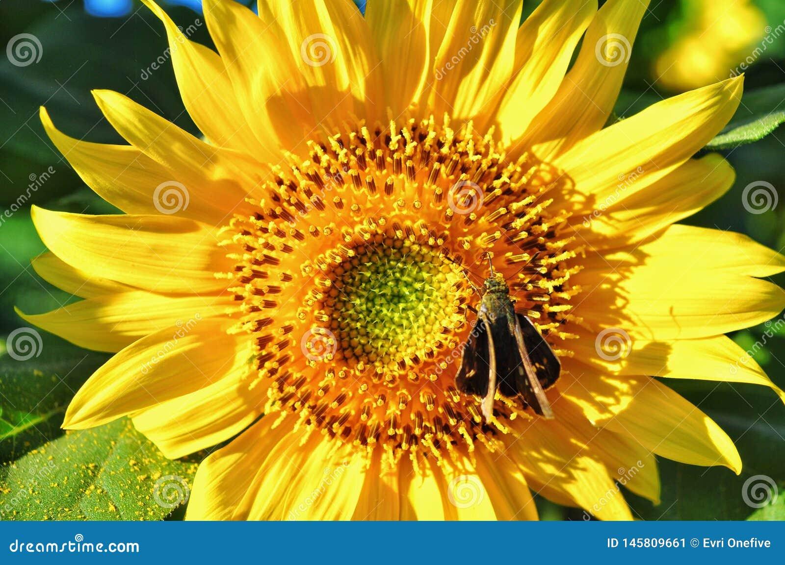 Fim acima das flores do sol na natureza