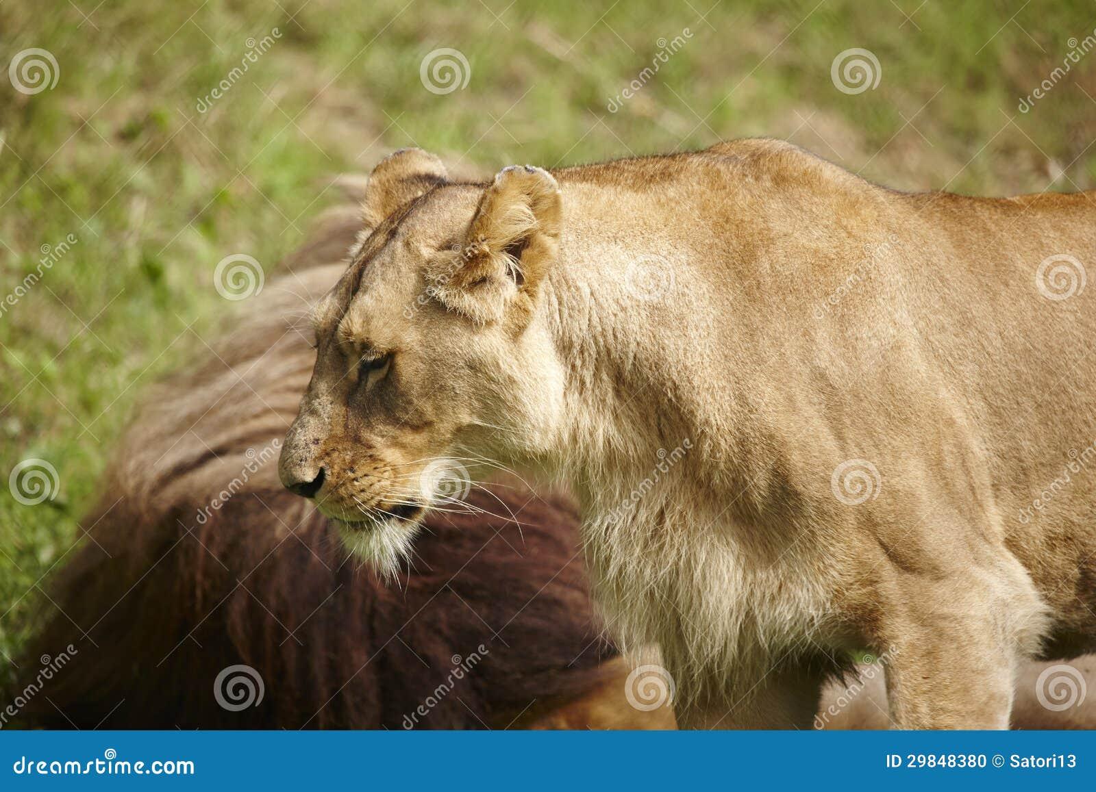 Fim-acima das leoas
