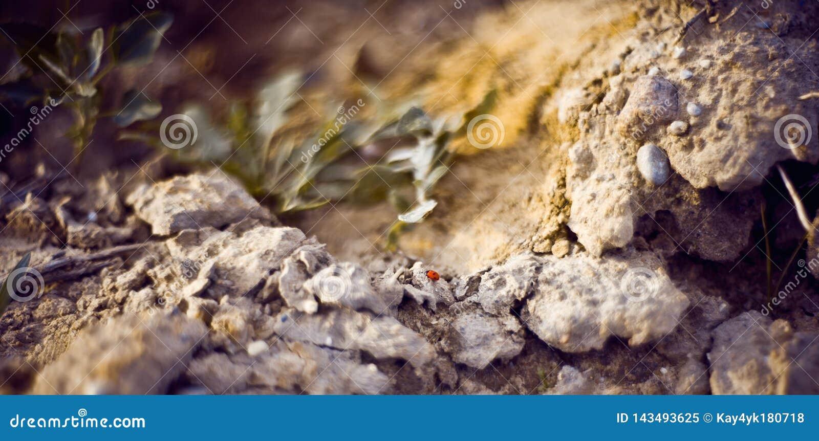 Fim bonito acima da joaninha do sete-ponto em uma mão humana, no septempunctata de Coccinella limpando seus pés e comer estes ins