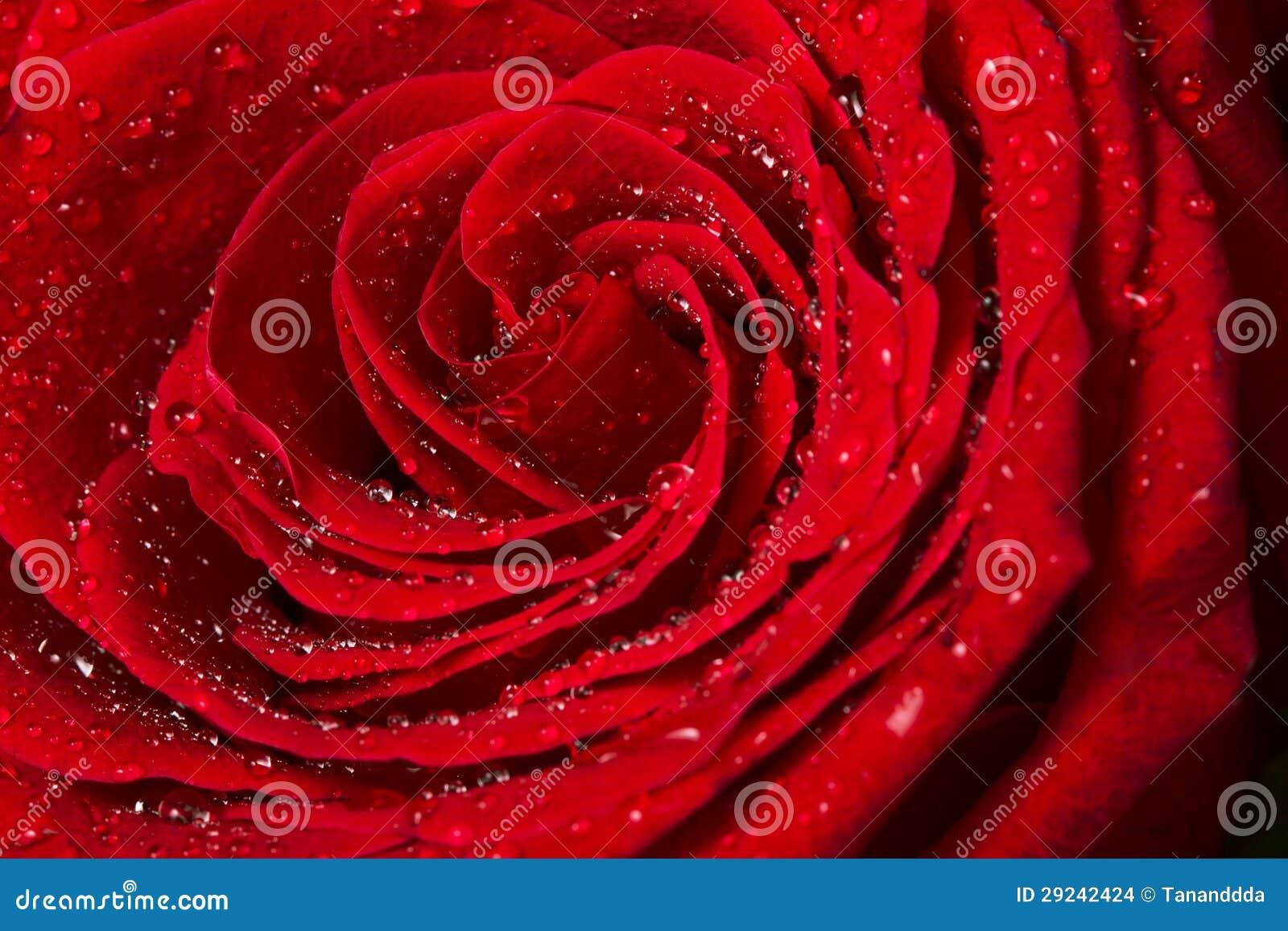 Download Fim Bonito De Rosa Vermelha Acima Foto de Stock - Imagem de foco, fundo: 29242424