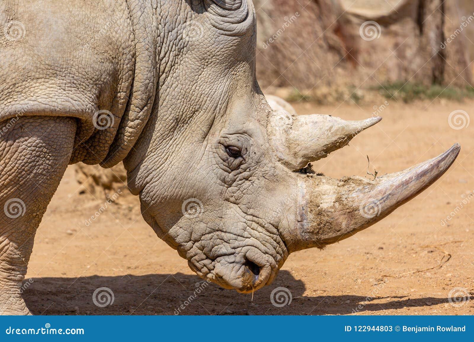 Fim branco do sul do rinoceronte acima